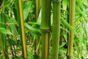 Phyllostachys (bambusi)