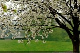 first_flowering_trees_of_spring_-_01