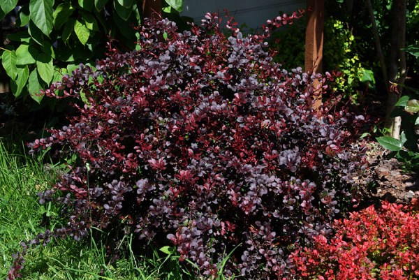 berberis-thunbergii-dart-s-red-lady