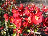 chaenomeles-japonica-1_resize