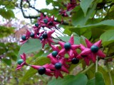clerodendron-trichotomum-2