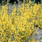 forsythia-de-paris-x-intermedia-boucle-d