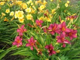 hemerocallis__strutter_ball