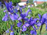 iris_sibirica_cambridge