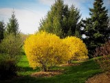 lynwood-gold-forsythia-3