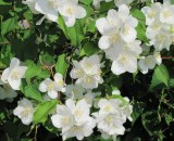 philadelphus-coronaries