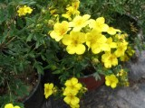 potentilla_fruticosa_gold_star