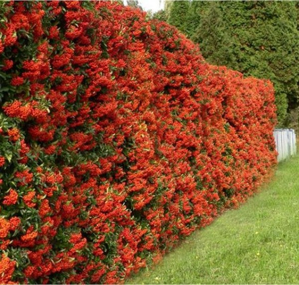 pyracantha-'red-column'