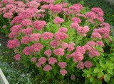 sedum-spectabile-brilliant