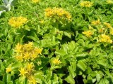 sedum_floriferum_weihenstephaner_gold