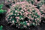spiraea-japonica-little-princess-2