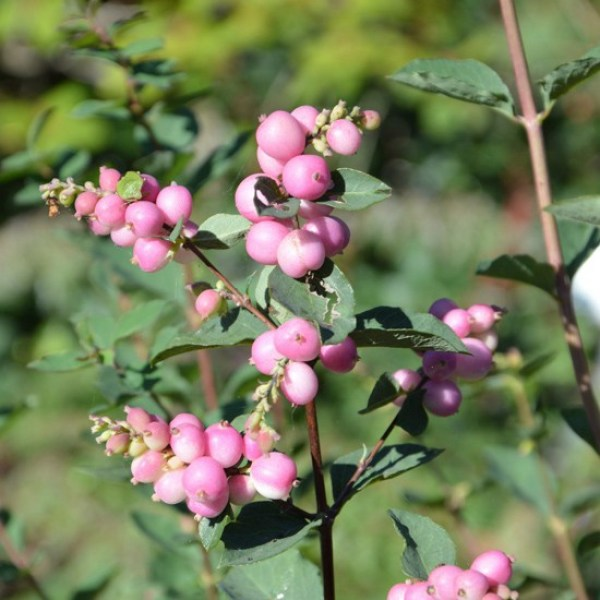 symphoricarpos-'magic-berry'