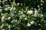 symphoricarpos-'white-hedge'