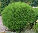 thuja-occidentalis-globosa