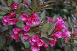 weigela-florida-'purpurea'