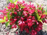 weigela_red_prince